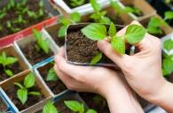 Якісний садивний матеріал – запорука доброго врожаю!