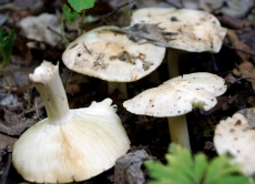 Рекомендації для запобігання отруєнь дикорослими грибами