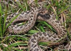 Без паніки: дії при укусі змії
