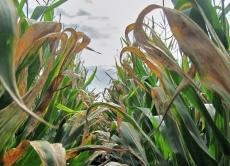 Запроваджено карантинний режим по бактеріальному в'яненню кукурудзи