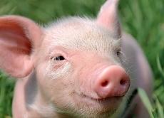 В Барському районі знято карантин по африканській чумі свиней