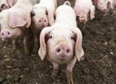 В Козятинському районі знято карантин по африканській чумі свиней