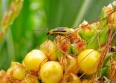 Запроваджено карантинний режим по західному кукурудзяному жуку