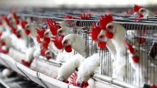 Місія ЄС оцінить систему держконтролю за виробництвом м'яса птиці в Україні
