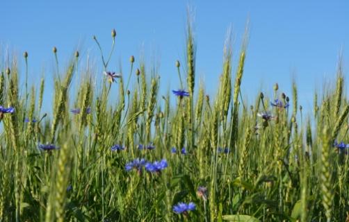 Прогноз фітосанітарного стану та рекомендації щодо захисту сільськогосподарських рослин в господарствах області в червні 2019 року