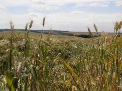Прогноз фітосанітарного стану та рекомендації щодо захисту сільськогосподарських рослин у господарствах області в серпні 2017 року