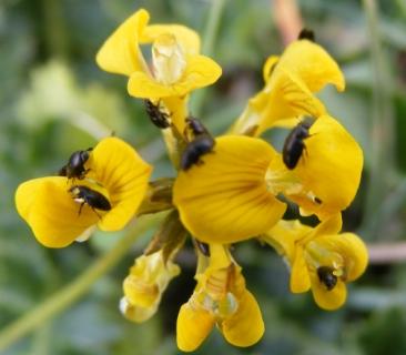 Захистити врожай: ріпаковий квіткоїд та стебловий прихованохоботник!