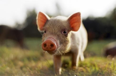 Набрав чинності Порядок ідентифікації та реєстрації свиней