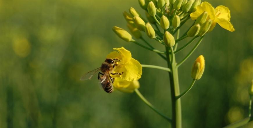 До уваги господарників та бджолярів: як вберегти медоносних бджіл від отруйної дії пестицидів?