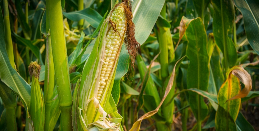 Прогноз фітосанітарного стану та рекомендації щодо захисту сільськогосподарських рослин в господарствах області в серпні 2019 року