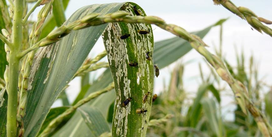 Запроваджено карантинний режим по західному кукурудзяному жуку!