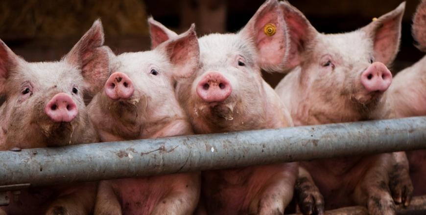 Ензоотичний енцефаломієліт свиней або хвороба Тешена