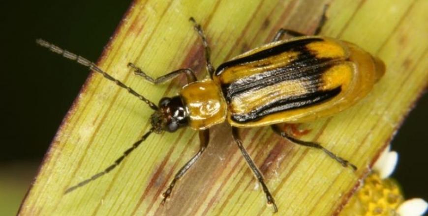 Виявлено регульований шкідливий організм - Західний кукурудзяний жук
