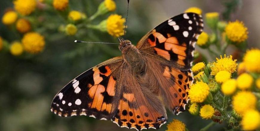 Увага: спостерігається літ метеликів чортополохівки!