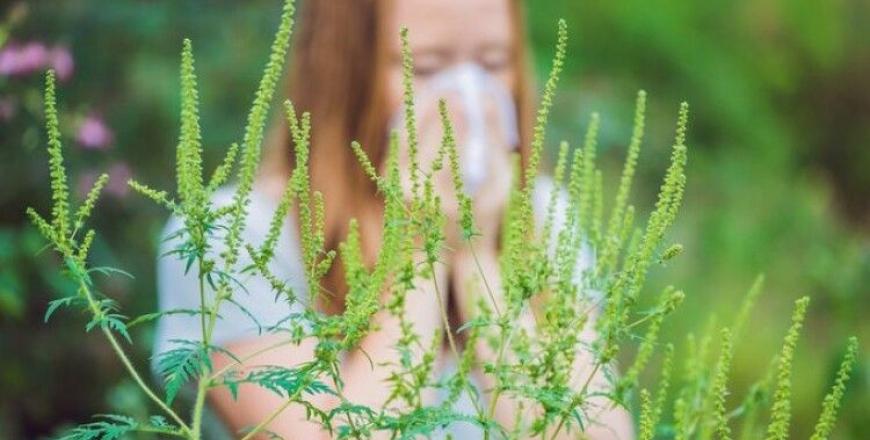Амброзія полинолиста – небезпечна рослина-алерген!