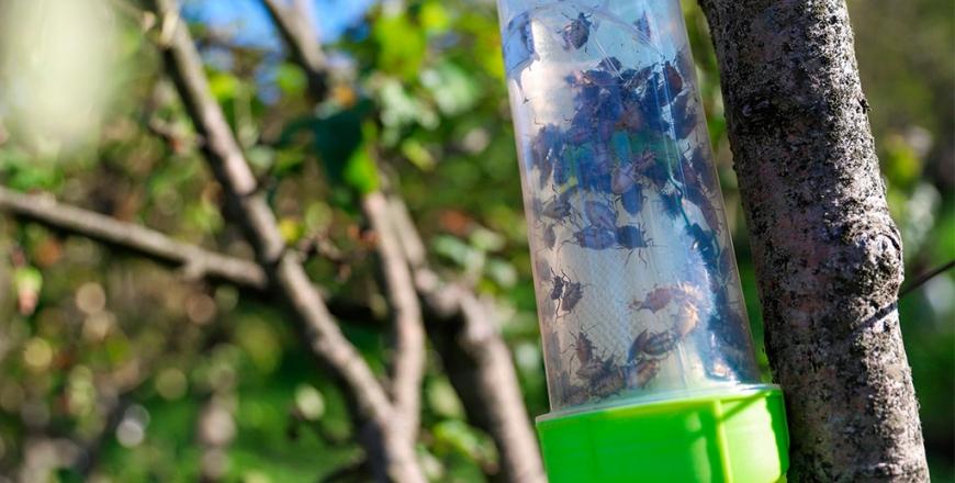 Розроблено рекомендації щодо застосування феромонних пасток для виявлення регульованих та шкідливих організмів